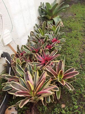 Bromeliads for Sale in Weston, FL