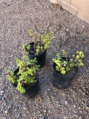 Jade elephant succulent plants three dollars each for Sale in Peoria, AZ