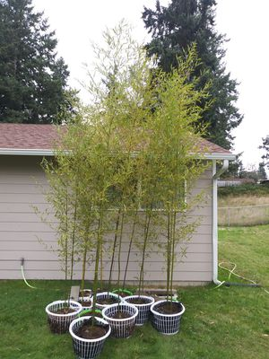 Bamboo plants for Sale in Spanaway, WA