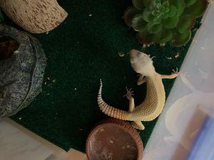Leopard gecko for Sale in Oceanside, CA