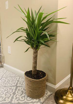 Yucca (house plant) for Sale in Alpharetta, GA