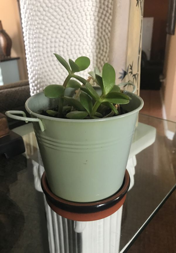Two type of succulent plants with bonus metal bucket planter and ceramic base