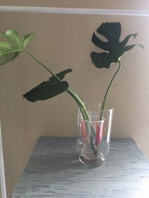 Monstera deliciosa plant rooting for Sale in Newnan, GA