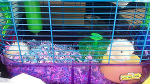 syrian hamsters with cage an bedding for Sale in Dallas, TX