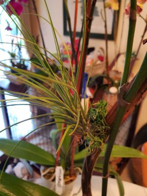 Air Plants Variety for sale price may vary Also arrangements for Sale in Coral Gables, FL