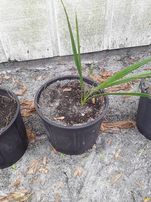 Date Palm (Organic Medjool) for Sale in Melbourne Village, FL