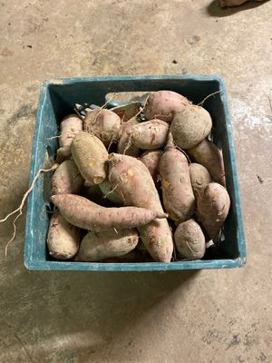 Five gallon buckets of sweet potatoes that were just picked today. $7 per bucket. for Sale in Garner, NC