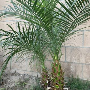 Pigmy Palm Tree for Sale in Torrance, CA