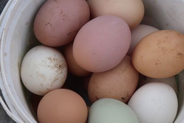 Organic Backyard Eggs for Sale in Laveen Village,  AZ