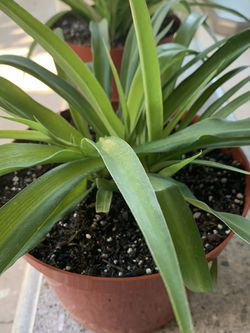 Green Spider Plants Or Chlorophytum comosum for Sale in Fountain Valley,  CA