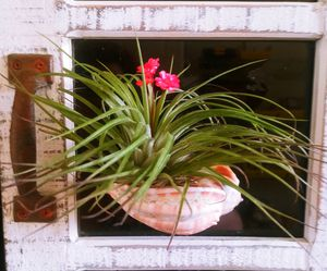 Hanging Harpa shell planter with Air Plant for Sale in Las Vegas, NV
