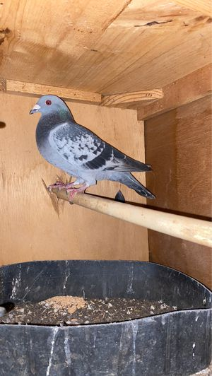 Checkered pigeon for Sale in Moreno Valley, CA