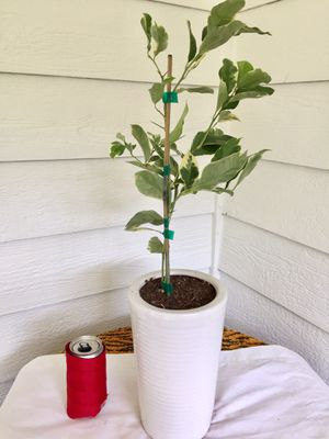 Pink Variegated Lemon Plant Tree in Ceramic Planter Pot- Real Indoor House Plant for Sale in Auburn, WA