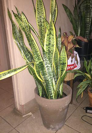 5 gallon sanseveria houseplant with mocha pot for Sale in Phoenix, AZ