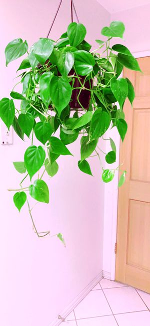 """LIVE Brazilian Philodendron Cordatum Brazil Sweetheart ♥️ Plantin Evergreen Indoor Vine Plant in 8"""" Hanging Container for Sale in Garden Grove, CA"""