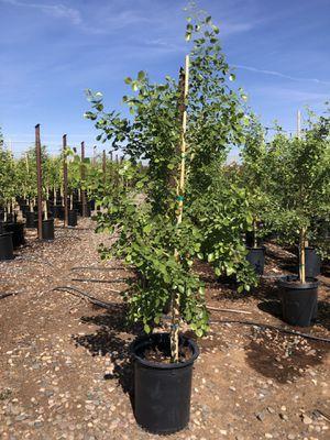 Trees & Plants for Sale in Phoenix, AZ