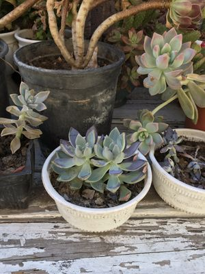 Succulent for Sale in Garden Grove, CA