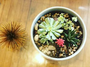 Succulents plants for Sale in Andover, MA