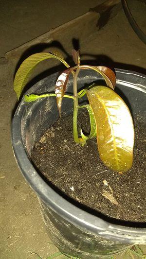 Little Mango tree petacon/Arbolito de Mango petacon for Sale in Garden Grove, CA