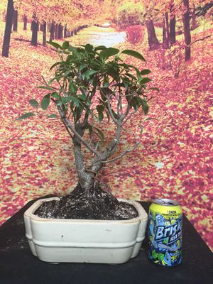 Bonsai: Ficus Kaneshiro for Sale in Malden, MA