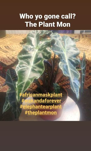African Mask Plant for Sale in Los Angeles, CA
