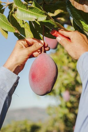 Mango Glenn plant 🥭/ $10 each tree.. for Sale in Tampa, FL