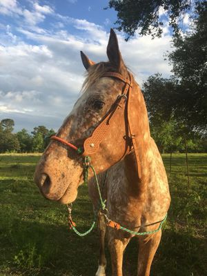 Bitless Horse Bridle for Sale in Saucier, MS