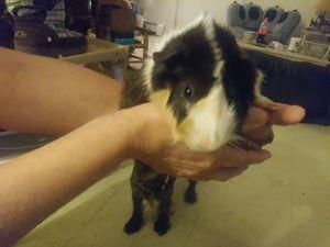Guinea pigs for Sale in Moline, IL