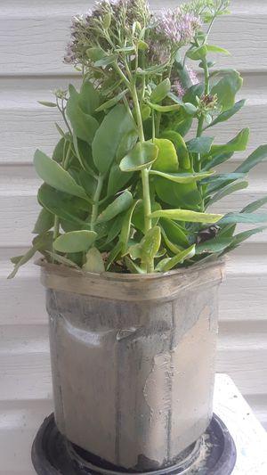 Authum joy sedum plants for Sale in Decatur, GA