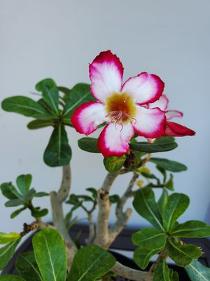 Desert rose big 8 inch size -- planter NOT included for Sale in Santa Ana, CA