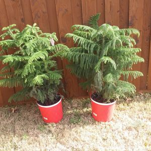 Real Trees for Sale in Garland, TX