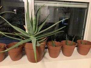 "Aloe Vera Plants (8"" + 12"" Pots) for Sale in New York, NY"