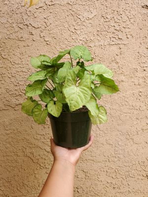 Syngonium Podophyllum Creamsicle Plant for Sale in Westminster, CA