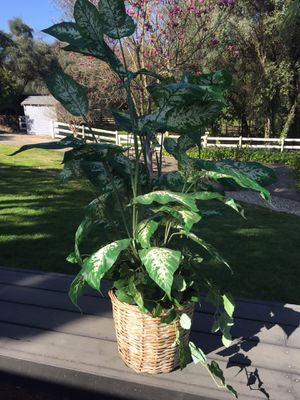 Tall fake plant for Sale in Carmichael, CA