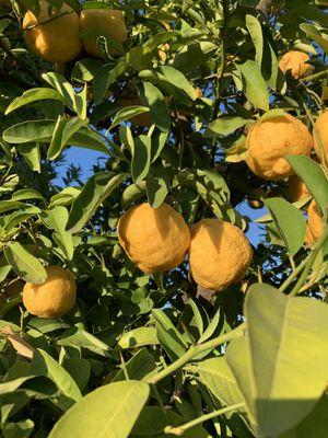 Yuzu fruit for Sale in Diamond Bar, CA