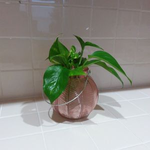 Pothos Plant In A Glass Round Vase for Sale in Long Beach, CA