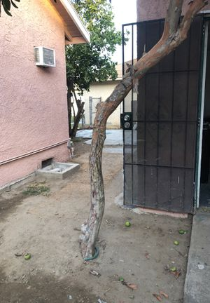 Free gava tree. You dig out and take for Sale in Pico Rivera, CA