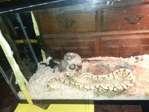 90gal tank with screen top and everything you need to keep snakes toys hiding places heat lights night heat lights and water dish for Sale in Delta, OH