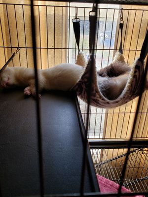 Ferrets need rehoming for Sale in Dover, DE