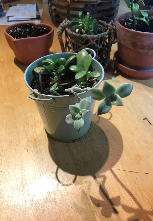 Multiple succulent plants in a tin can