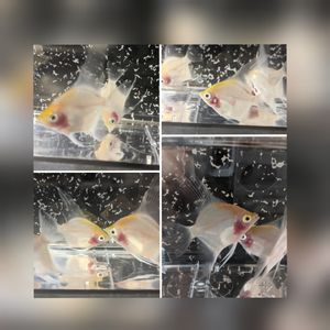 Fish tank sunset Angelfish for Sale in Birdsboro, PA
