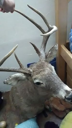 Stuffed 9 point buck for Sale in Bartlesville, OK