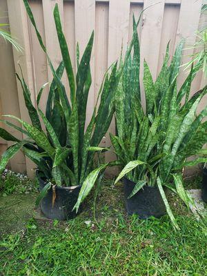 2 snake plants for Sale in Virginia Gardens, FL
