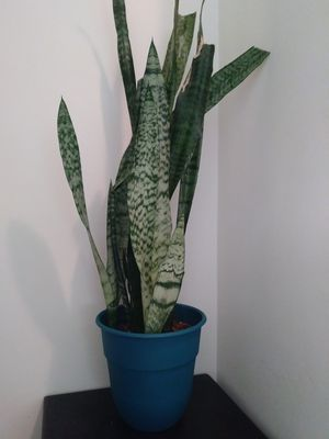 Snake plant for Sale in Norwalk, CA