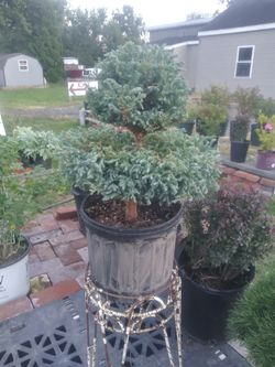 blue moss cypress shrub plant for Sale in Collegeville,  PA