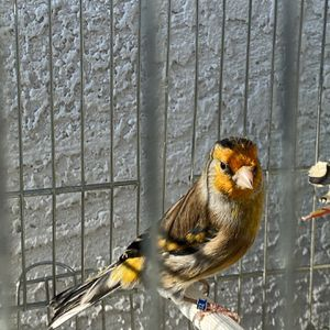 Brid Cage For Sale Mule Gold Finch for Sale in Elk Grove, CA