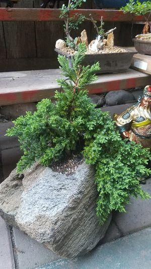 Bonsai juniper nana in a rock for Sale in Fresno, CA