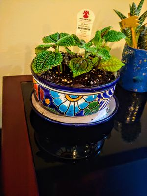 Beautiful house plant and pot for Sale in Puyallup, WA