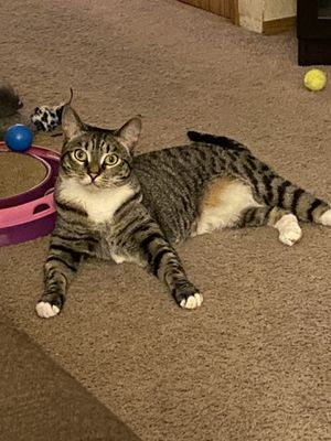 Lost two year old femaleTabby cat in the Everett area for Sale in Everett, WA