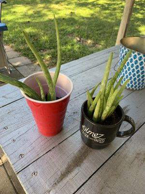 Aloe plants for Sale in Irving, TX